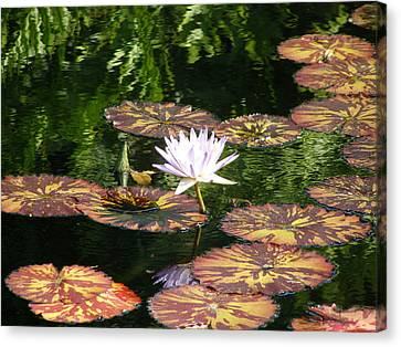 Pure Water Lily Canvas Print by Jeanette Oberholtzer