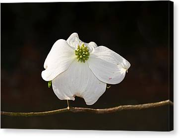 Pure White Canvas Print by Linda Brown