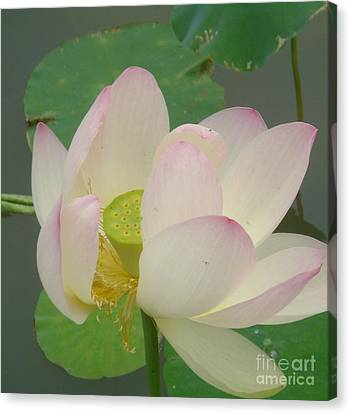 Purity Of The Pink Lotus Canvas Print by Renu Anne