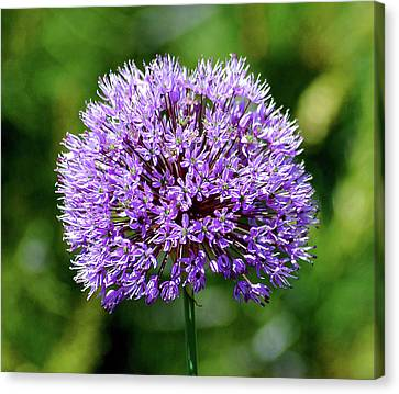 Purple Allium Canvas Print
