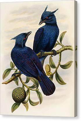 Genus Canvas Print - Purple And Violet Manucode by John Gould