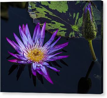 Purple And Yellow Water Lily Canvas Print