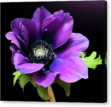 Purple Anemone Flower Canvas Print by Gitpix