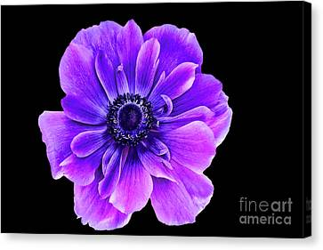 Purple Anemone Flower Canvas Print by Mariola Bitner