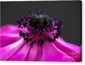 Purple Anemone II Canvas Print by Angela Doelling AD DESIGN Photo and PhotoArt