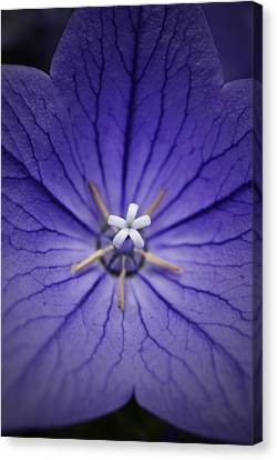 Purple Balloon Flower Canvas Print by Richard Andrews