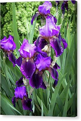 Purple Bearded Irises Canvas Print by Penny Lisowski
