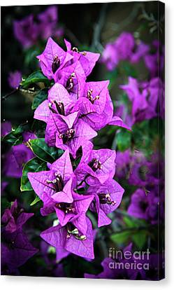 Canvas Print featuring the photograph Purple Bougainvillea by Robert Bales