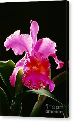 Purple Cattleya Canvas Print by Tomas del Amo - Printscapes