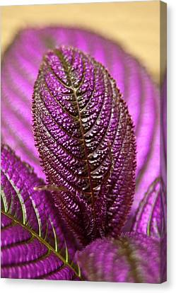 Purple Coleus Canvas Print by Carolyn Marshall