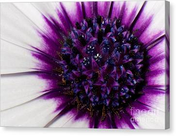 Floral Art Canvas Print - Purple Color Burst by Michael Herb