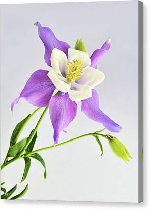 Purple Columbine Canvas Print by Ann Bridges
