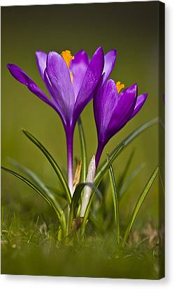 Purple Crocus Canvas Print by Gabor Pozsgai