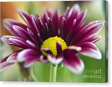 Purple Daisy Canvas Print by Kelly Holm