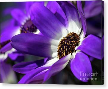 Purple Daisy Canvas Print by Sabrina L Ryan