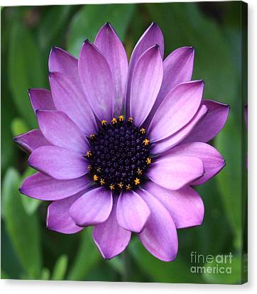 Purple Daisy Square Canvas Print by Carol Groenen