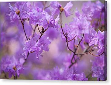 Canvas Print featuring the photograph Purple Delight. Spring Watercolors by Jenny Rainbow