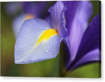 Purple Dutch Iris Flower Macro Canvas Print by Jennie Marie Schell