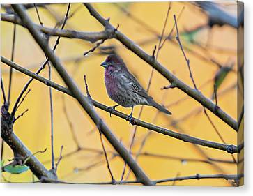 Purple Finch Bird Sitting On Tree Branch With Yellow Background Canvas Print