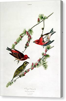 Purple Finch Canvas Print by John James Audubon