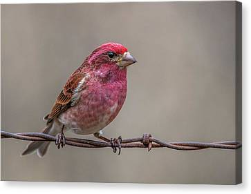 Canvas Print featuring the photograph Purple Finch On Barbwire by Paul Freidlund