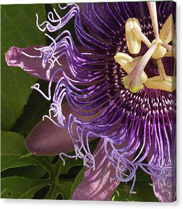 Canvas Print featuring the photograph Purple Fine View Passion Flower by Michael Flood