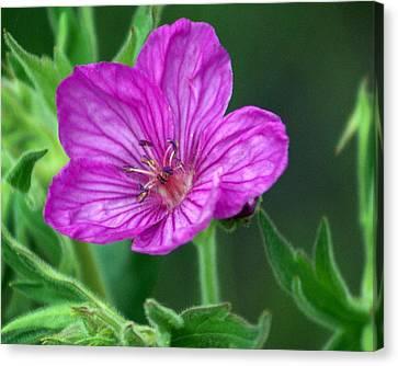 Purple Flower 2 Canvas Print by Marty Koch