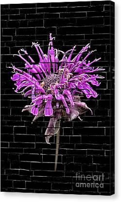 Purple Flower Under Bricks Canvas Print