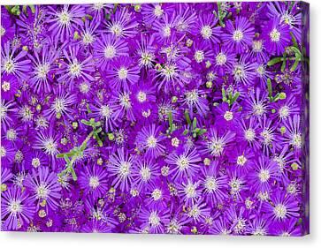 Purple Flowers Canvas Print by Frank Tschakert