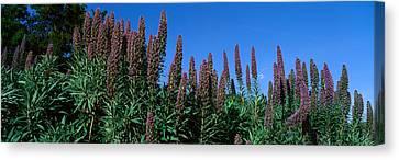 Taft Canvas Print - Purple Flowers, Taft Gardens, Ojai by Panoramic Images