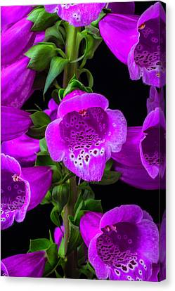 Foxglove Flowers Canvas Print - Purple Foxglove by Garry Gay