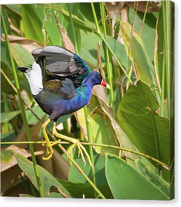 Purple Gallinule II Canvas Print by Dawn Currie