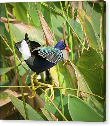 Purple Gallinule IIi Canvas Print by Dawn Currie