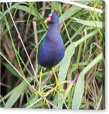 Canvas Print featuring the photograph Purple Gallinule by Robert Frederick