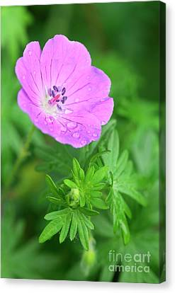 Purple Geranium Flower Canvas Print by Neil Overy
