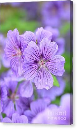 Macro Geranium Flower Canvas Print - Purple Geranium by Neil Overy
