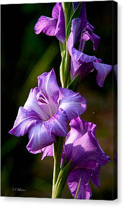 Purple Glads Canvas Print by Christopher Holmes