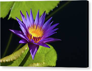 Canvas Print featuring the photograph Purple Gold by Steve Stuller