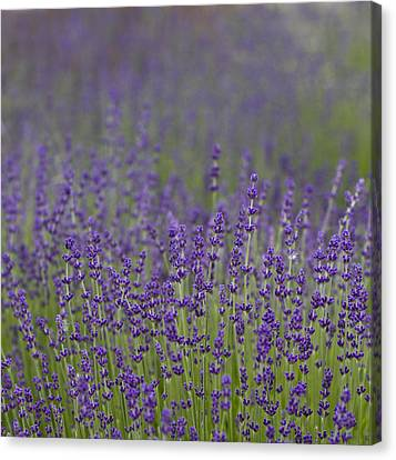 Purple Haze Canvas Print by Rebecca Cozart
