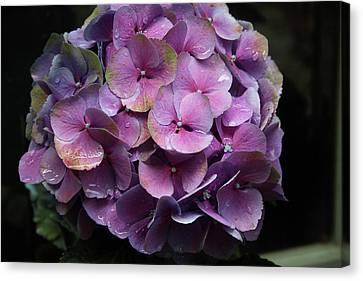 Purple Hydrangea- By Linda Woods Canvas Print by Linda Woods