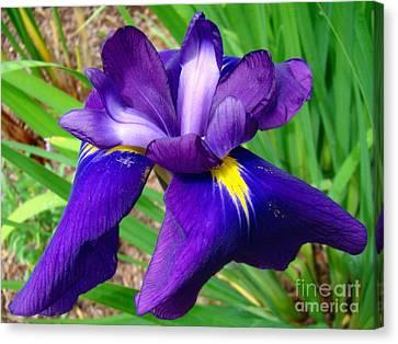 Purple Iris Beauty Canvas Print by Sue Melvin