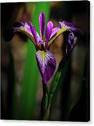 Canvas Print featuring the photograph Purple Iris by Tikvah's Hope