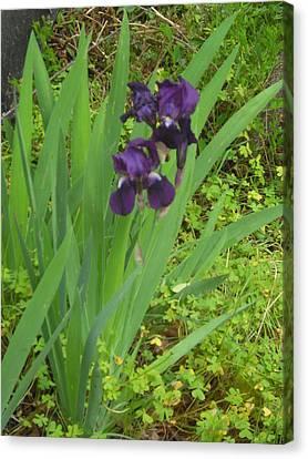 Purple Iris With Green Leaves Canvas Print by Sharon McKeegan