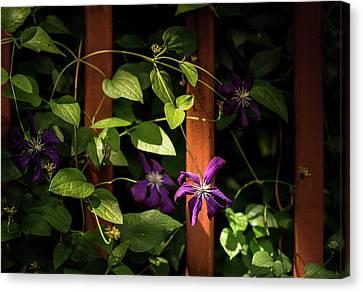 Canvas Print featuring the photograph Purple Jackmanii Clematis by Onyonet  Photo Studios