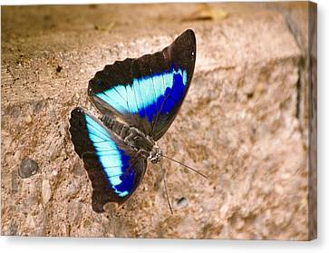 Purple King Shoemaker Butterfly Canvas Print by Cheryl Cencich
