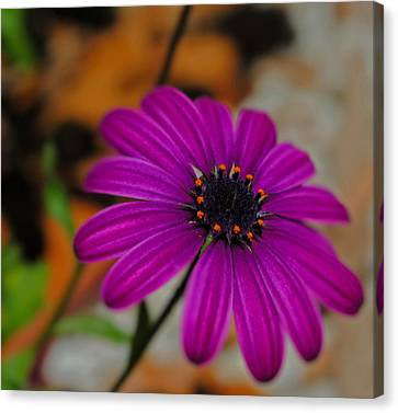 Canvas Print featuring the photograph Purple  by Laura DAddona
