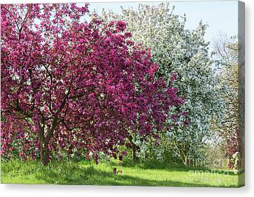 Purple Leaved Crab Apple Blossom In Spring Canvas Print