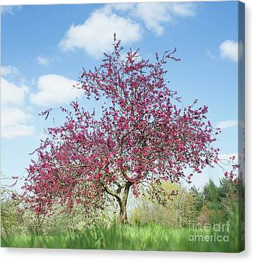 Purple Leaved Crab Apple Tree Blossoming Canvas Print