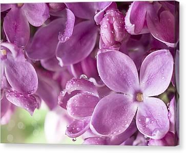 Purple Lilac Canvas Print by Mariola Szeliga