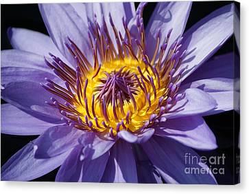 Purple Magic   # Canvas Print